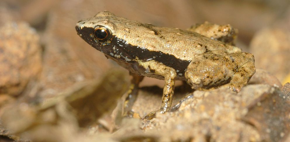 esearchers suggest that the Gardiner Seychelles frog uses its mouth to help it hear.