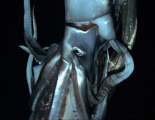 ht giant squid 2 nt 130108 ssh Nightline Daily Line, Jan 8: New Time, Same Great Stories