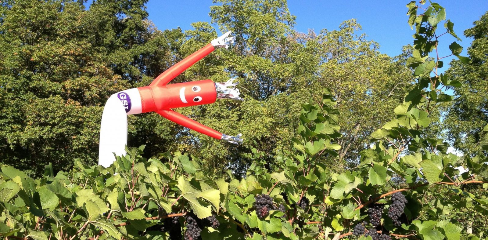 PHOTO: A new type of scarecrow is making its debut at wineries in upstate New York.