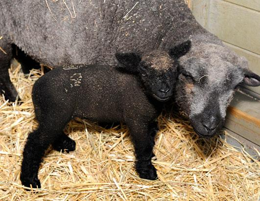 Lamb born in Hurricane Irene