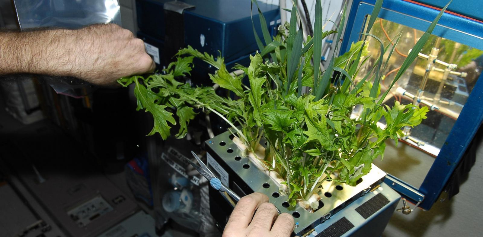 PHOTO: Mizuna lettuce is grown in the Lada greenhouse aboard the International Space Station before being harvested and frozen for return to Earth.