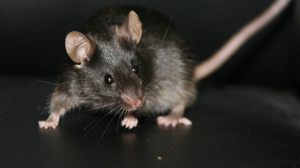 PHOTO One of the mice Chinese scientists say they created from non-embryonic stem cells.