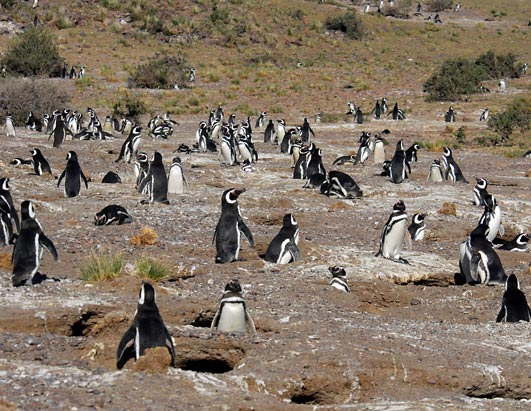 Happy New Year's for Penguins part of Magellanic penguin colony