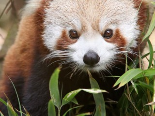 Red Pandas, Cursed for Being Cute, Face Extinction