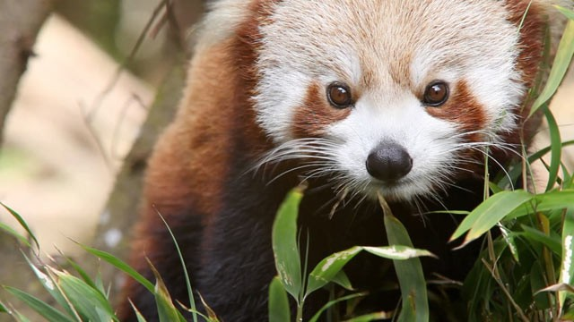 PHOTO: he red panda, an animal that once roamed the vast regions of the Earth, is now on the brink of extinction, and their adorable faces and gentle curiosity are only hurting their plight.