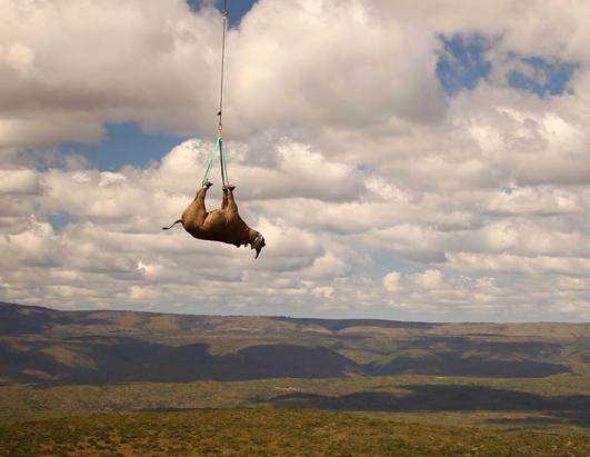 Endangered Black Rhinos are Given a New Home