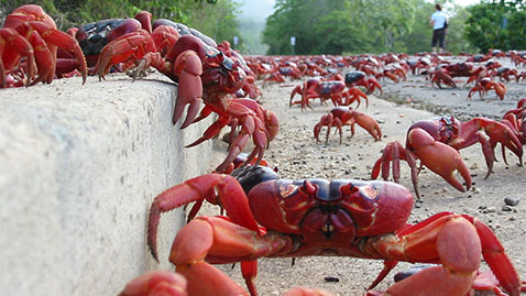 ht road crabs lpl 131129 wblog Crustacean Invasion! Millions of Red Crabs Take Over Australias Christmas Island