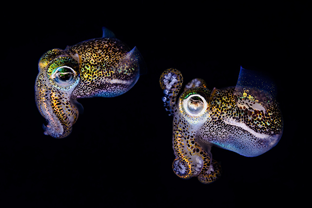 ht todd bretl bobtail squid blog 2 jtm 130920 Brilliant Photos of the Bobtail Squid