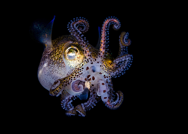 ht todd bretl bobtail squid blog 4 jtm 130920 Brilliant Photos of the Bobtail Squid