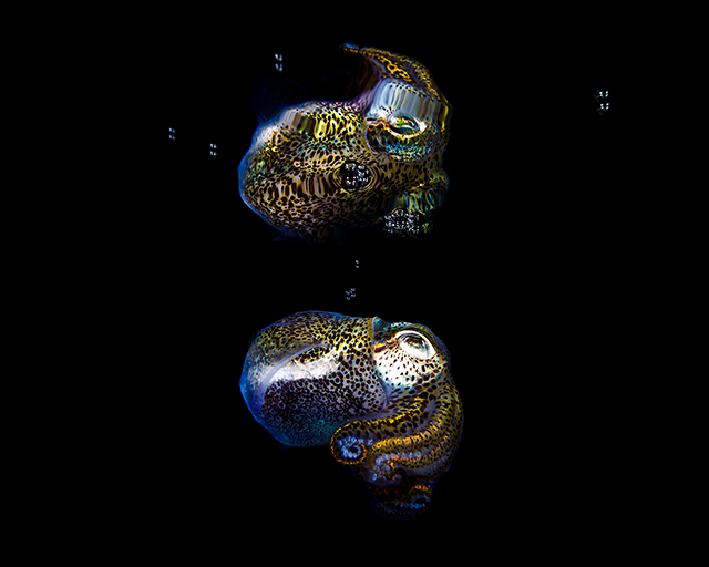 ht todd bretl bobtail squid blog 5 jtm 130920 Brilliant Photos of the Bobtail Squid