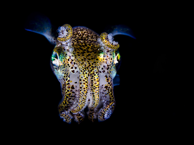 ht todd bretl bobtail squid blog 6 jtm 130920 Brilliant Photos of the Bobtail Squid