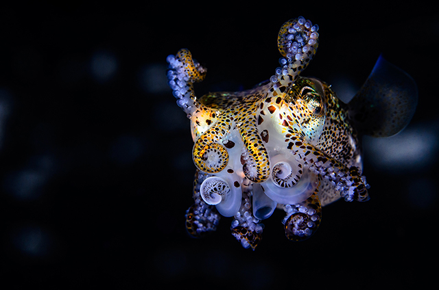 ht todd bretl bobtail squid blog 7 jtm 130920 Brilliant Photos of the Bobtail Squid