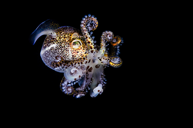 ht todd bretl bobtail squid blog 9 jtm 130920 Brilliant Photos of the Bobtail Squid