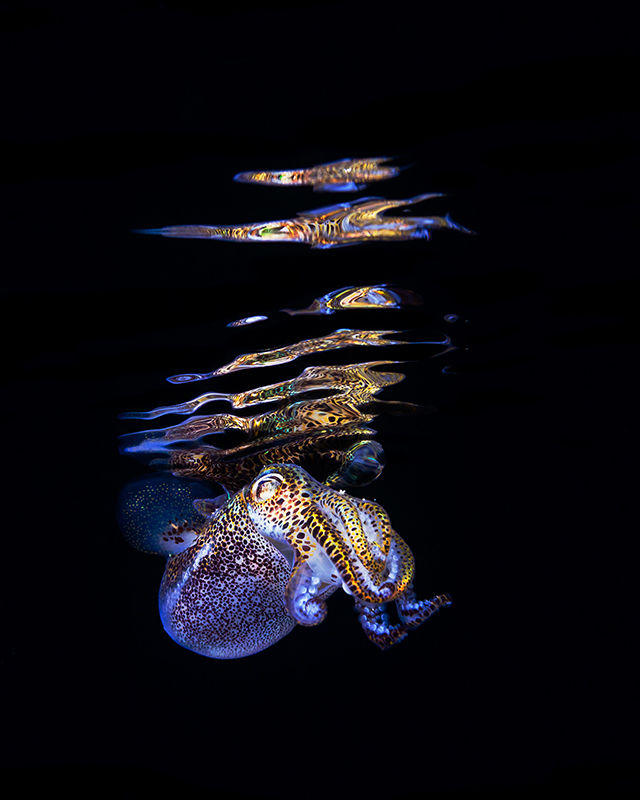 ht todd bretl bobtail squid blog jtm 130920 Brilliant Photos of the Bobtail Squid