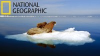 NAPPING WITH WILD WALRUS ON ARCTIC ICE