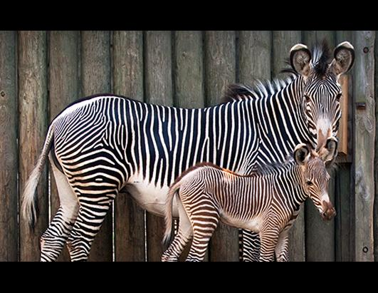 Baby Zebra Makes Debut