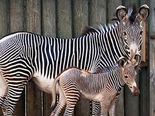 Photos: Chicago Area Zoo Welcomes Baby Zebra