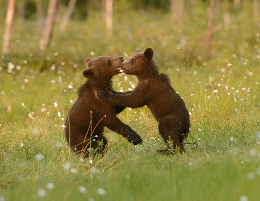 Adorable Bear Cubs Waltz