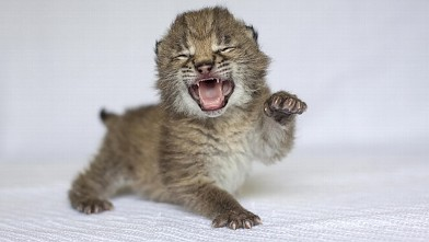 Baby Lynx Unleashes Mighty Roar