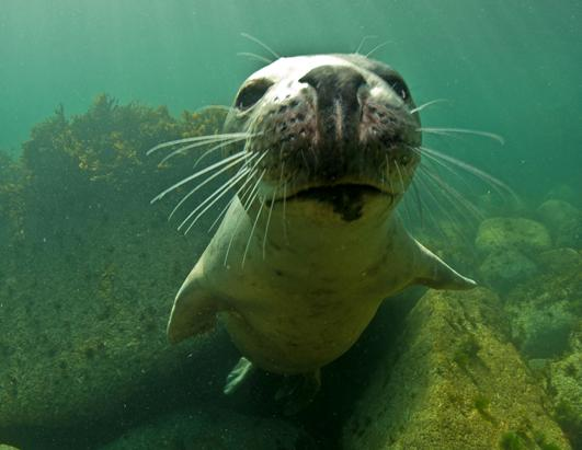 Playful Seal Plays with Divers