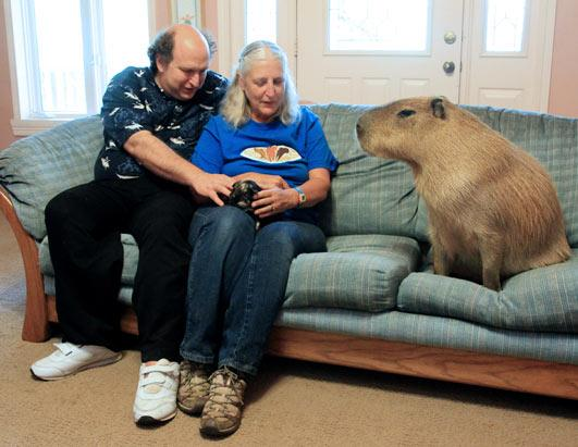 Couple Love Pet Capybara