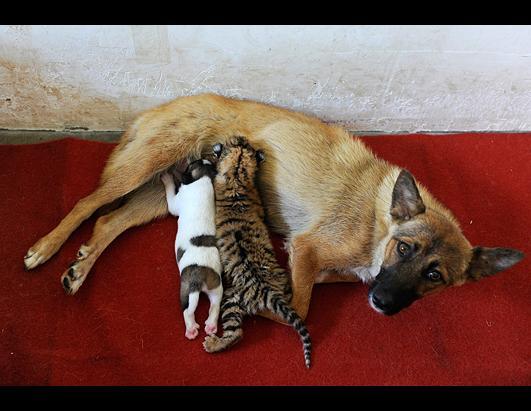 Female Dog Feeds 10-day-old Tiger Cub