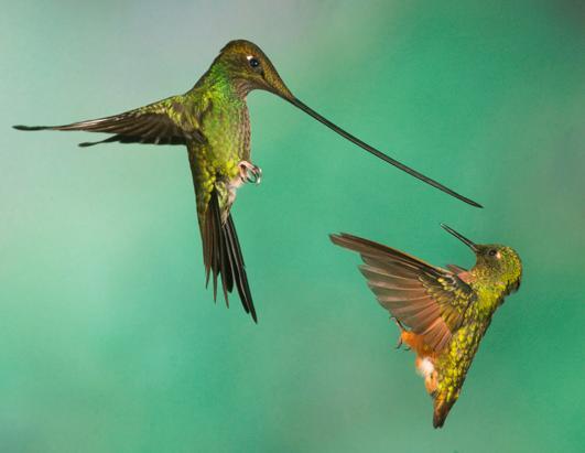 Hummingbird battles over hummingbird feeder