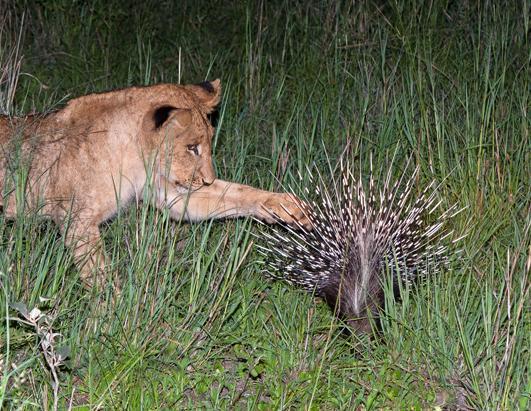 Lion Cub Investigates Porcupine