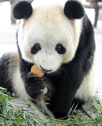 Giant Panda enjoys Mid-Autumn Festival moon cake