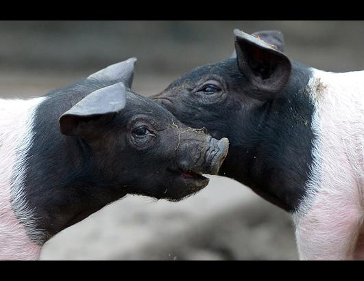Official Good Luck Pigs of 2013