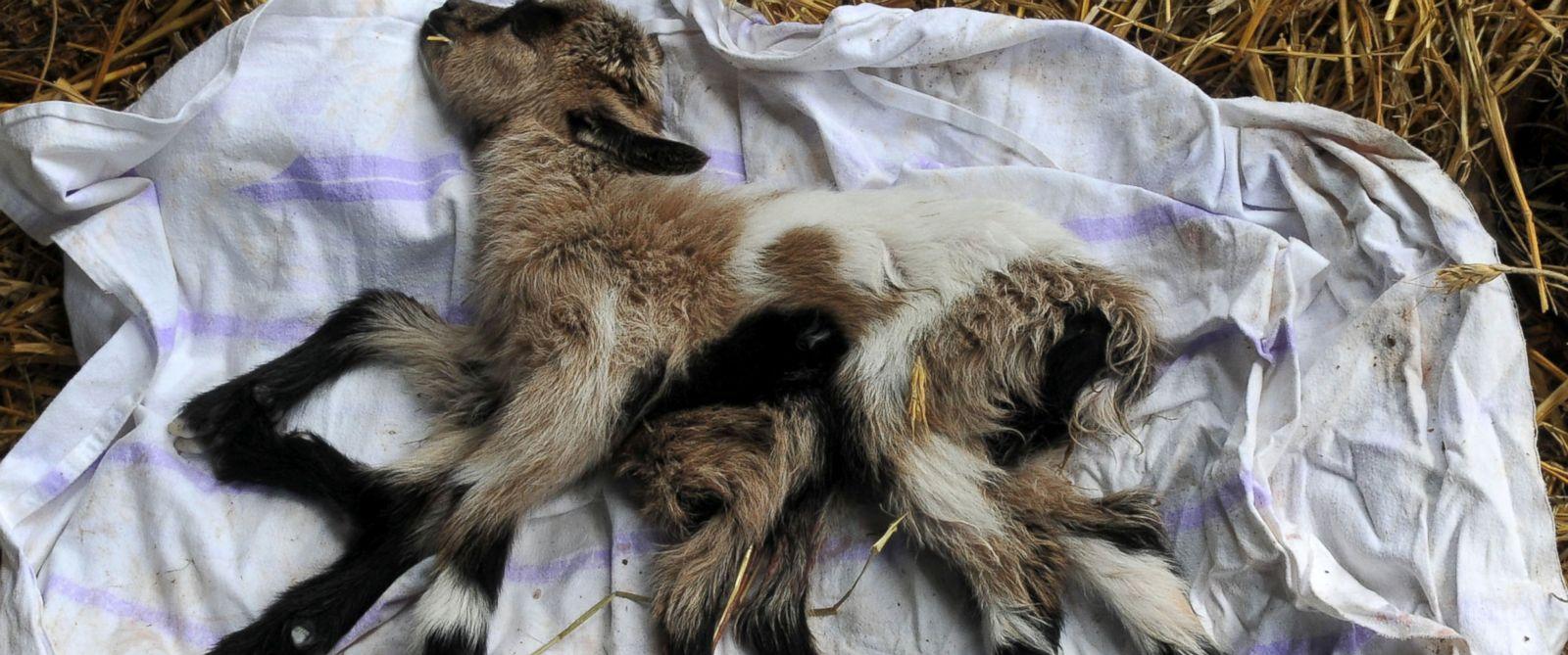 PHOTO: A goat with eight legs has been born on a farm in Kutjevo, Croatia.