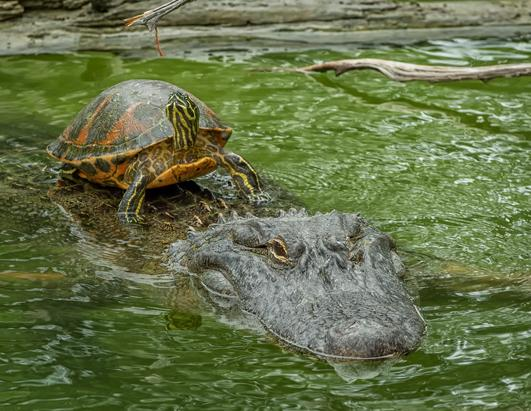 Terrapin Hitches A Ride