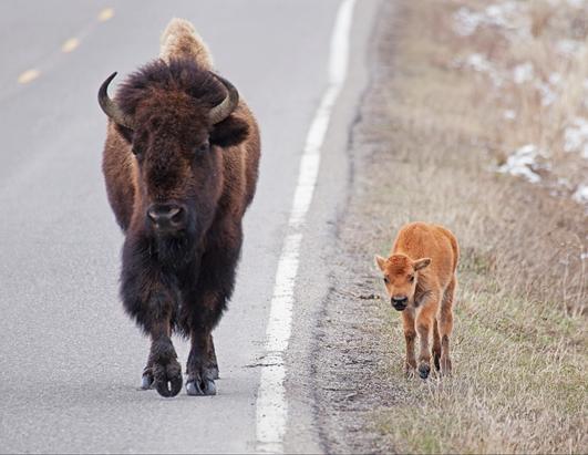 Baby Buffalo Roams the Road
