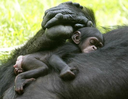 Newborn Baby Chimpazee Takes a Nap
