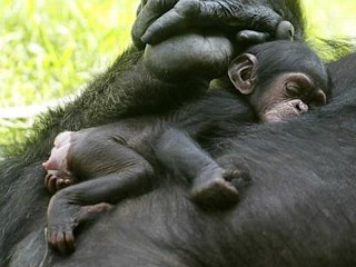 Photos: Baby Chimp Takes a Nap in Mom's Arms