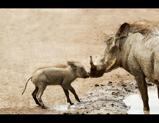 Baby Warthog Kisses Mom