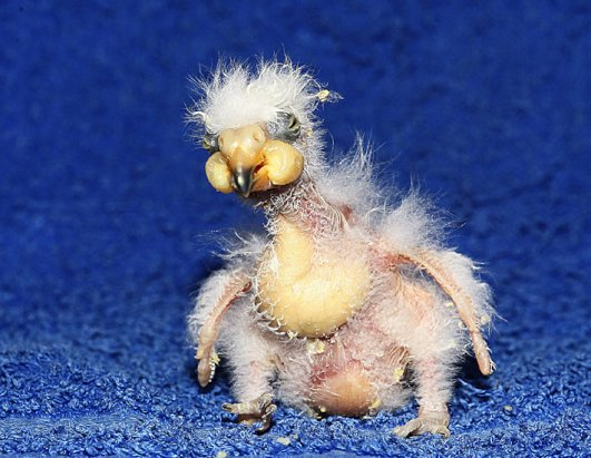 Meet Nelson the Parrot Chick, Possibly the Ugliest Bird Ever