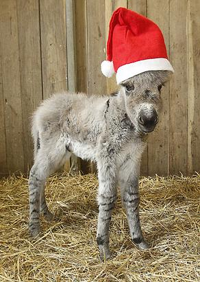 Nikolaus the Donkey