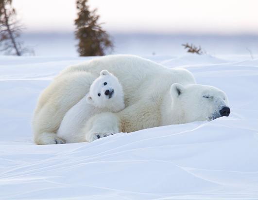 Baby Animals; Polar Bear Cub Snuggles With Mom