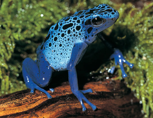 The blue poison dart frog's cool exterior warns predators that it's nothing