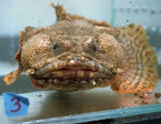 toad fish - photo #32