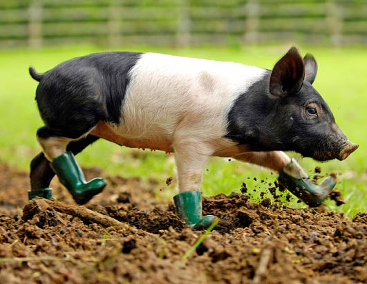 http://a.abcnews.com/images/Technology/rpy_pig_in_boots_080611_ssh.jpg