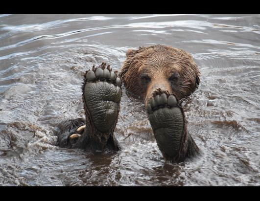 Grizzly Bear Cools Off in Candadian Lake