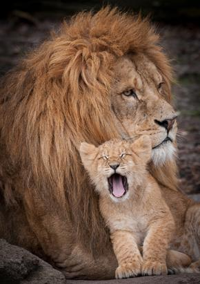 Is it Father's Day for Lions Too?