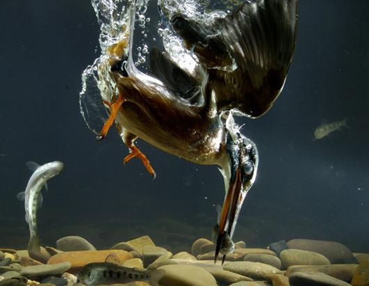 Kingfisher Catches Fish Under Water