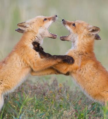 Fox Fight Club