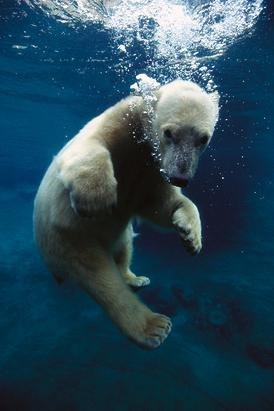 Polar Bear Plays in San Diego Zoo
