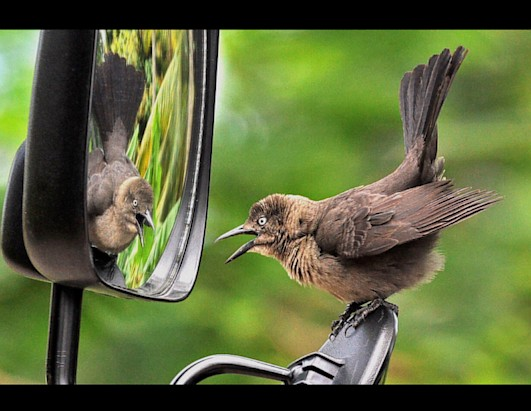 Bird Surprised by Own Reflection