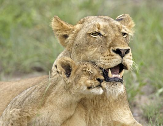 Lion Cub Cuddles With Mom