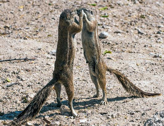 Dancing chipmunks in Namibia